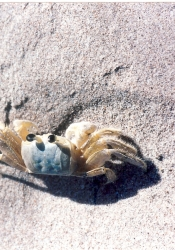 South Point sand crab