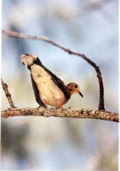 Oistins • bird